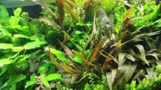 Download Krasnorosty i restart akwarium. Video
