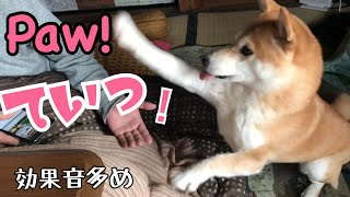 Download 焦りすぎてうまくお手ができない柴犬 Give me your paw! Video