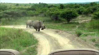 Download Rhino Chase Video