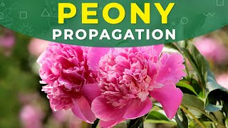 Download Peony Propagation, Rejuvenation, Care Video
