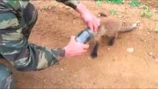 Download Fox cub comes to people for help Video