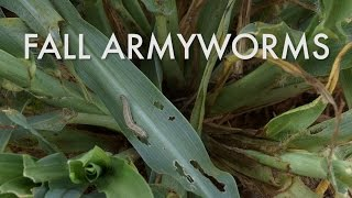 Download Fall Armyworms: Identification, Damage Indications and Control Video