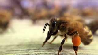 Download Bee pollen slow motion Flow™ Hive Video
