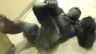 Download キヨマサ、アニー 大乱闘1 シャバーニ見守る Kiyomasa Annie scuffle. Shabani watching over from afar. Gorilla ゴリラ Video