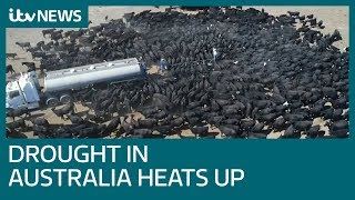 Download Australian farmers struggle to keep cattle alive as drought hits   ITV News Video