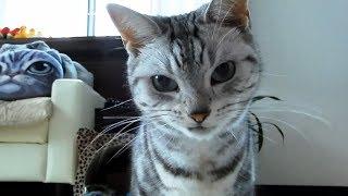 Download お腹がすいて眠れないの…説明してきた猫 ~その後は仲良く至福の二度寝❤ -Cat Can't Sleep Alone Video