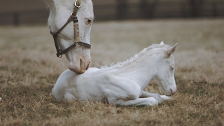 Download Rare White Foal a Patchen Wilkes Specialty Video