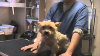 Download Grooming an Aggressive Yorkie (Yorkshire Terrier): Part 1 Video