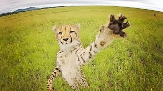 Download CHEETAH vs DRONE // South Africa Video