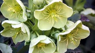 Download How to grow Hellebores Video