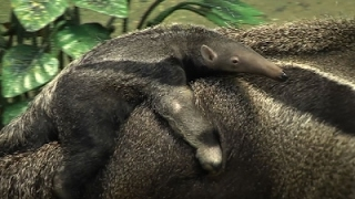 Download Raw: Brookfield Zoo Welcomes Giant Anteater Pup Video
