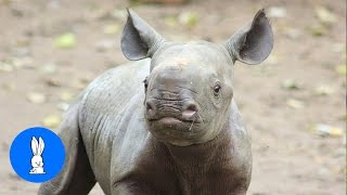 Download Baby Rhino Charging - FUNNIEST Compilation Video