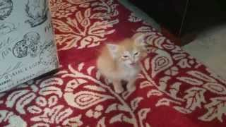 Download Tiny kitten orders a meal Video
