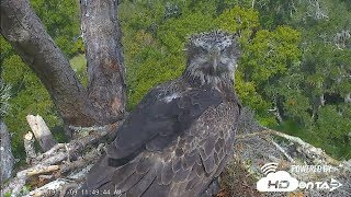 Download 2019- NEFL Bald Eagles, Unknown Sub-Adult Eagle Visits Nest 11-9 Video