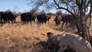 Download Lion Pride Chased Off After Killing Buffalo. Singita, Kruger National Park Video