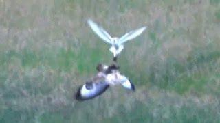 Download Barn Owl mugged by a Buzzard Video