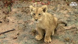 Download Lioness And Cubs With One Mapogo Lion | Archive Footage Video
