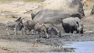 Download Wonderful wildlife moment when Rhino and Zebra share a waterhole at Kruger National Park Video