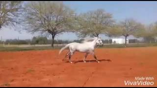 Download PRODIGIOSO PAL - PRE white stallion learning high school for sale - TBHS Video