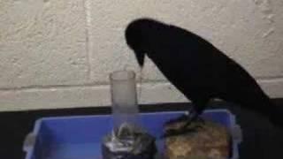 Download Tool-Making Crows Video