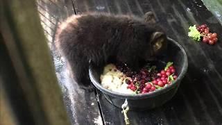 Download Otto, Rollo, Dani, Summitt and Hawkins Bear - June 10, 2017 Video