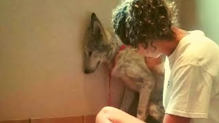 Download This Abandoned Wolf Dog Always Stayed In A Corner Now He's Inseparable from His New Best Friend Video