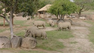 Download Hope for dwindling northern white rhinos with artificial insemination Video
