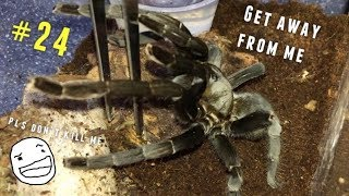 Download Tarantula Feeding Video #24 [Part 1] ~ THREAT POSTURES 101 !!! Video