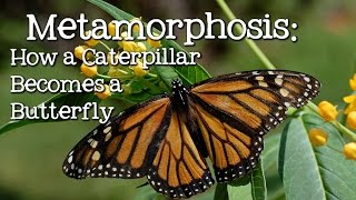 Download Metamorphosis: Caterpillar to Butterfly for Children - FreeSchool Video