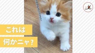 Download マンチカンの子猫ちゃんの可愛すぎる猫パンチ😍【 PECOTV 】 Video