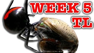 Download Deadly Spider Vs Christmas Beetle Bug Battle Week 5 Timelapse (Graphic Video) Video