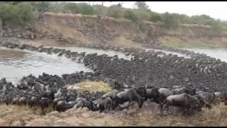 Download Gosheni Safari's Serengeti Wildebeest River Crossing Migration Video