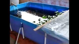 Download Criação de Camarão da Malásia com Guppy lebiste caixa de água Video
