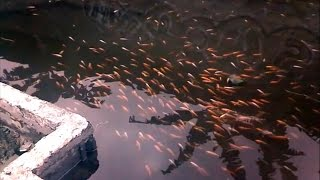 Download Breeding Koi or Goldfish (Step by Step) Video