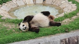 Download かわいい!寝ていたタンタン起きてコロンと転がる♪ so cute panda rolling Tantan♪ Video