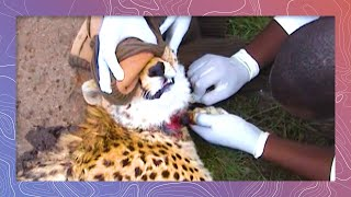 Download Cheetah Rescued From Poacher's Snare Video