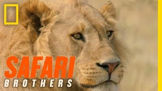 Download Lessons in Lion Tracking | Safari Brothers Video