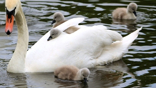 Download Swan's nest and hatching of cygnets Video
