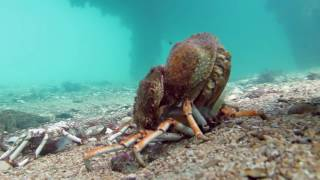 Download Spider Crab Molting Before Being Eaten by Stingray (muted) Video