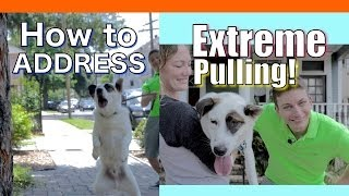 Download How to Train your Dog to NOT PULL on a Leash! EXTREME LEASH PULLING, BARKING, LUNGING and JUMPING! Video