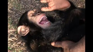 Download Playtime at Liberia Chimpanzee Rescue & Protection Video