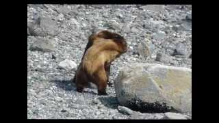Download Two Grizzly Bears Fighting Over Female!!! Video