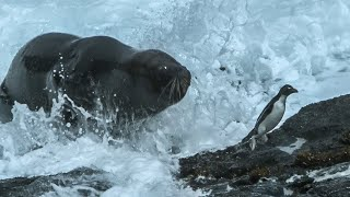 Download Huge Sea Lion attacks and eats Penguins - Wild Patagonia - BBC Earth Video