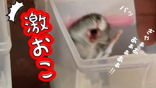 Download 【ブチギレ】お家を掃除して移動させようとしたらハムスターに威嚇されてしまったGet angry Video