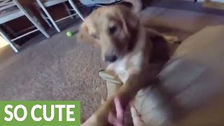 Download Puppy gives best reaction ever to new dog bed Video