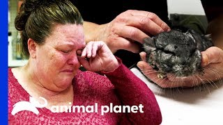 Download Sickly Chinchilla Leaves Owner in Tears Video
