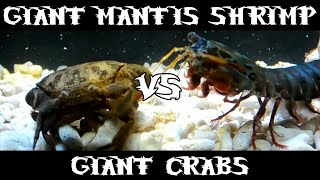 Download Giant Smashing Mantis Shrimp VS Giant Crabs Video