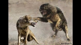 Download Lone Wolf vs 3 Tibetan Mastiffs!!! Video