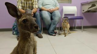 Download Look What's Hopped Into The Vet's Office! Two Kangaroos... In Diapers! Video