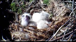 Download Big Red Reveals Two Chicks In The Nest! – April 23, 2018 Video